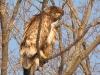 Bald Eagle at Hawk Lake Dump