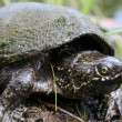 Have you seen this turtle? Do you think it is stinky, sweet or furry?
