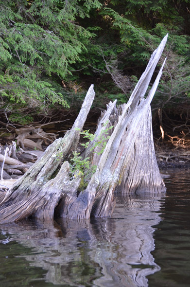 driftwood stump in water